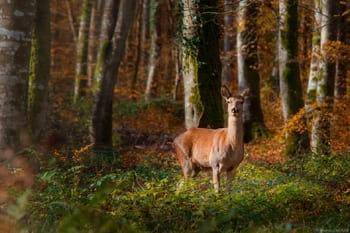 Photographie animalière d'une biche sauvage en forêt