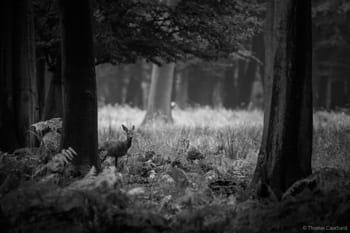 Photographie animalière d'un jeune chevreuil
