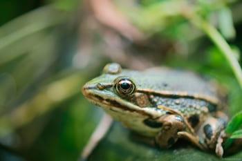 Macro photographie d'une grenouille