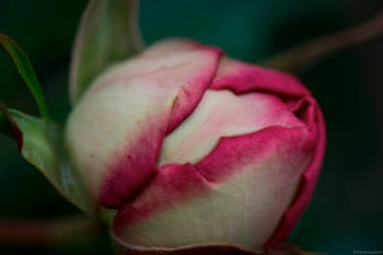 Photographie d'un détail d'une fleur